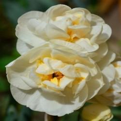 NIGRUM - Allium Bulbs