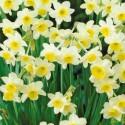 ATROPURPUREUM - Allium - Bulbs