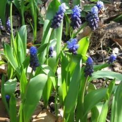 SICULUM -  (Nectarscordum) Allium - Bulbs