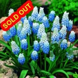 SPHAEROCEPHALON - Allium - Bulbs