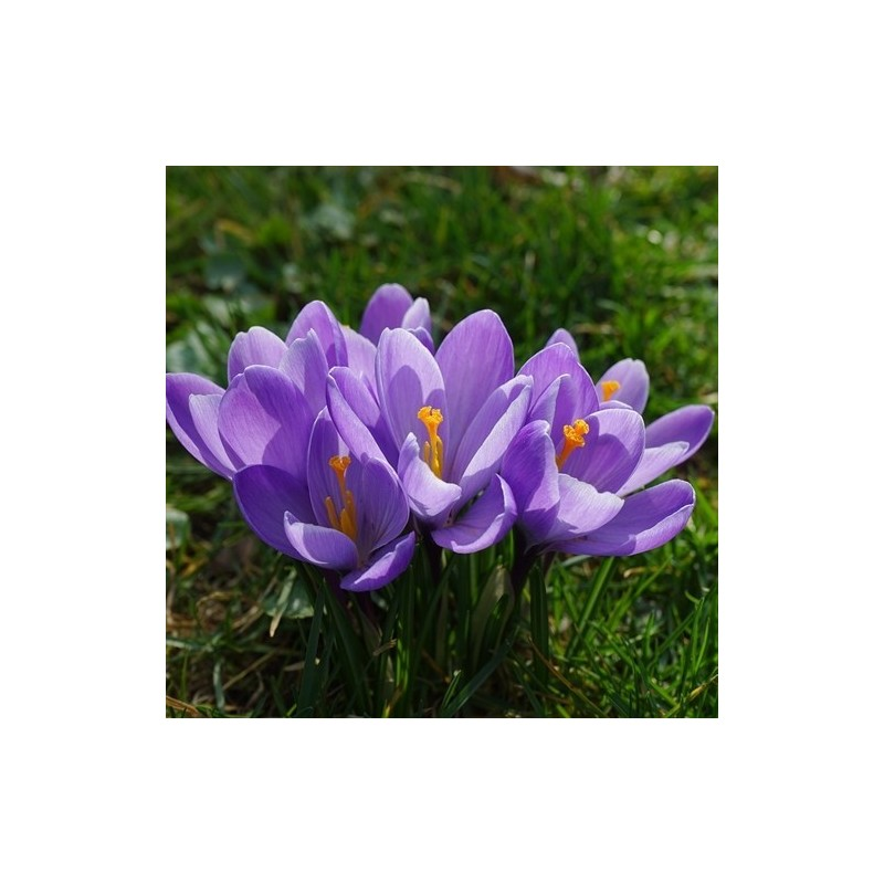White Trumpet Daffodil Bulbs