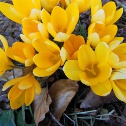 Daffodils-Narcissus-Bulbs-PINK SMILES