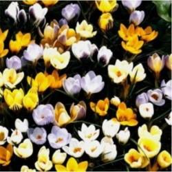 Daffodils-Narcissus-Bulbs- TAMARA