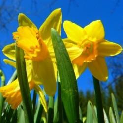 Tulip - Oxford (new).