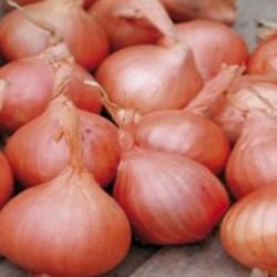 Tulip - Monsella.